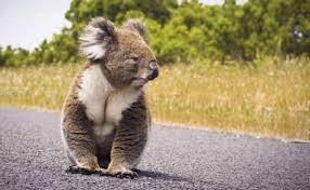 Koala on Road