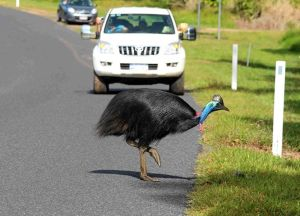 cassowary crosses the road