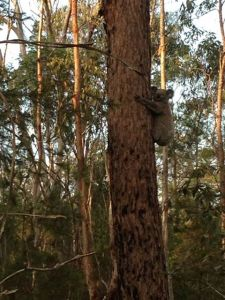 koala in local bushland