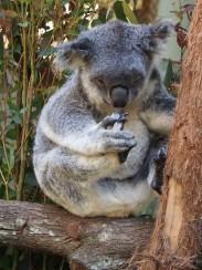 Daisy Hill koala