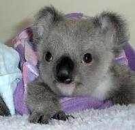 baby koala from facebook