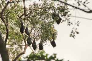 Bats in trees from Shelley