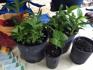 cassowary seeds